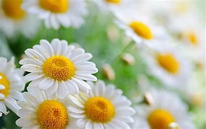 Daisy Flower Iphone