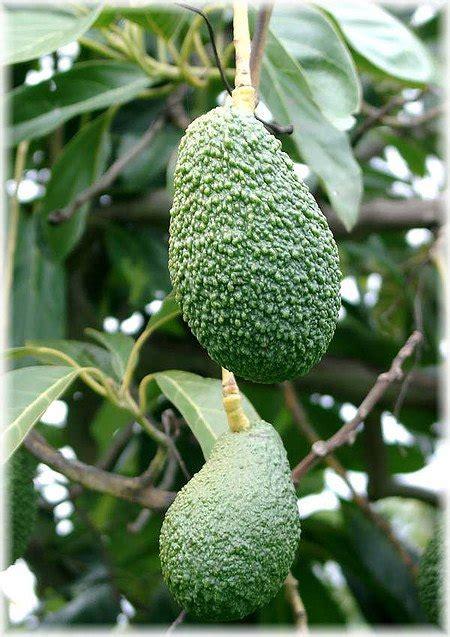 avocado persea americana hass guenstig  kaufen