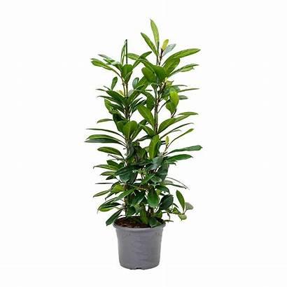 Ficus African Fig Cyathistipula Hortology Plant Plants