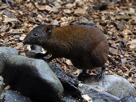 rat en anglais faune australienne jean bourret 192 la d 233 couverte de l australie