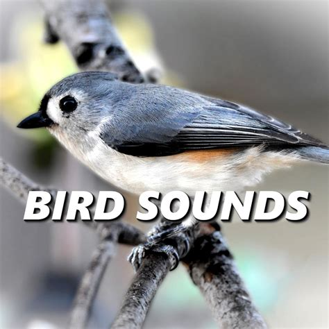 tidal listen to serene bird sounds on tidal