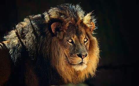 lion fond decran fonds decran