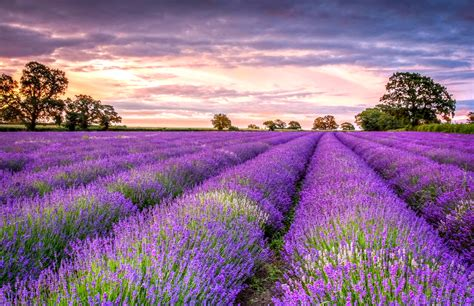 Purple Flower Iphone Wallpaper Lavender Wallpapers High Quality Download Free