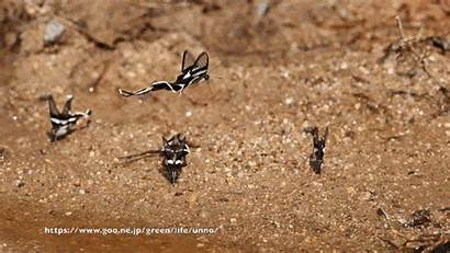 Meges Lamproptera Butterfly Dragontail Slow Motion Bit
