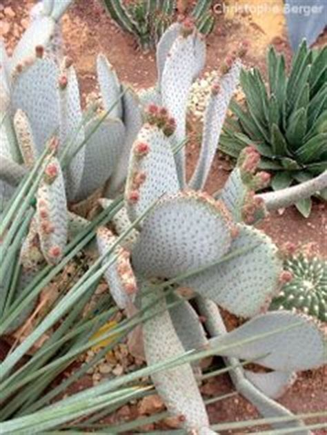 1000 images about opuntia oponce cactus raquette on