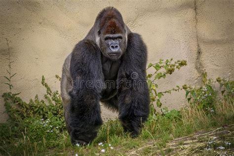 Angry Gorilla Vector Art