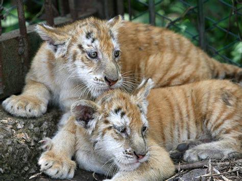 Prolonging Time Speak Golden Tigers