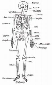 Labelled Skeleton For Kids