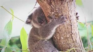 Very cute Baby Koala sleeping - YouTube