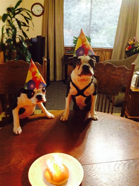 boston terrier brothers   birthday party