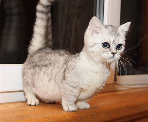 munchkin cat scottish fold scottish fold cat info personality kittens pictures