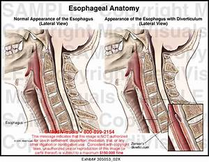 Esophageal Anatomy Medical Illustration Medivisuals