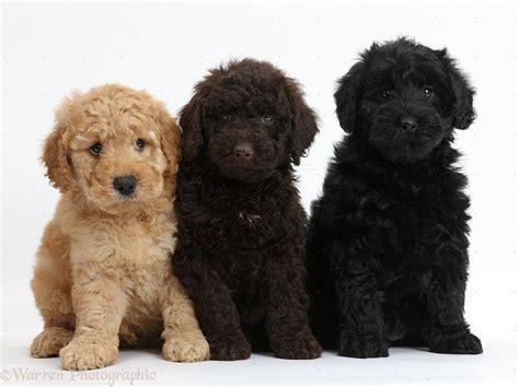 Goldendoodle Puppies Unconditional Pinterest