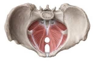 muscles of the pelvic floor anatomy and function kenhub