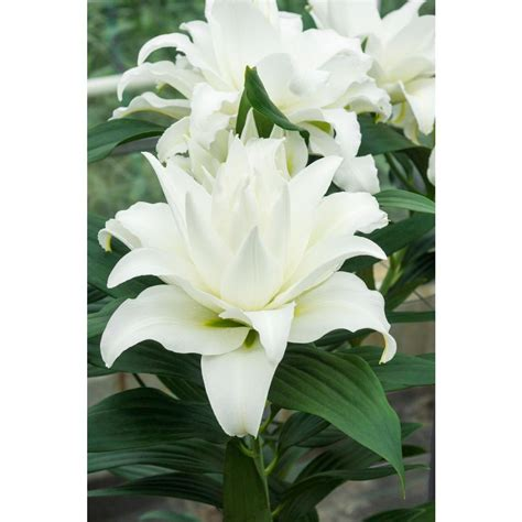 bloomsz  wedding lily bareroot  pack   home
