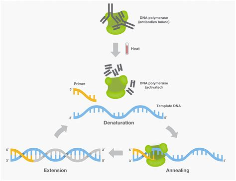 DNA Polymerase—Four Key Characteristics for PCR | Thermo ...