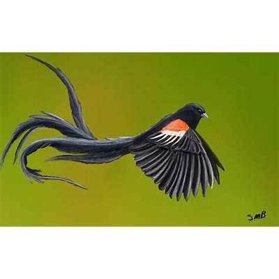 Long tailed widowbird Euplectes progne by Great-Skua on
