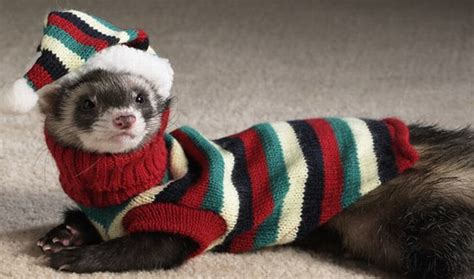 ferret sweaters ferrets dressed up photos wallpapers all