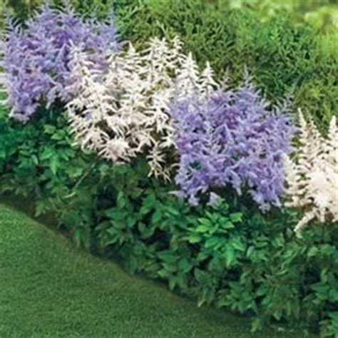 border plants shade shade loving astilbe border this perennial grows 36 to 48 quot zones 4 9 and grows in sun or