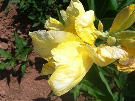 cannas summer flowering perennials