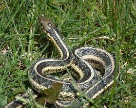 Butler Garter Snake Michigan