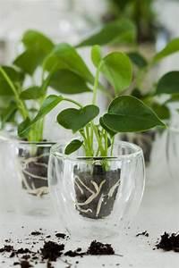 Fuchsien Stecklinge Kaufen : anthurium info alles ber anthurium topfpflanzen und ~ Michelbontemps.com Haus und Dekorationen