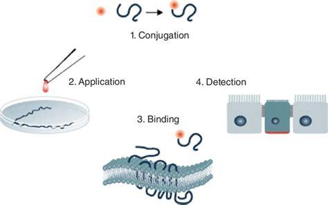 4 Principle of the ligand-receptor binding assay. 1 ...