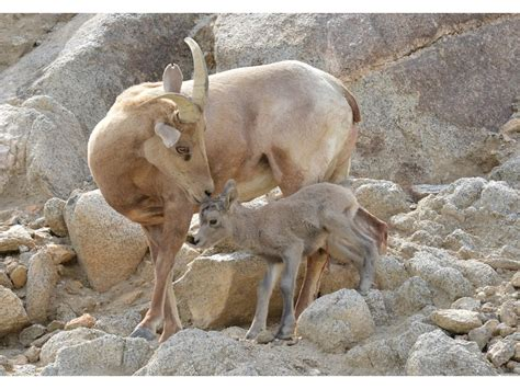 best ranch home photos baby bighorn sheep is living desert 39 s newest