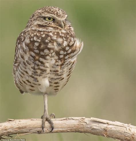 burrowing owl  british colombia struggles  sleep