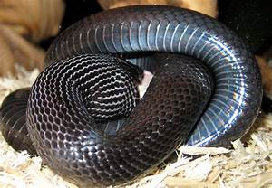 Image Gallery Mexican Kingsnake
