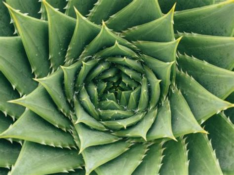 golden ratio plants mathematicians dispute claims that the golden ratio is a natural blueprint for beauty the