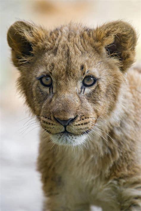 cub portrait     portrait   cub