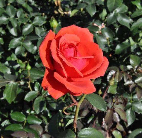 So Finden Sie Die Passende Rosensorte by Pflanzen Rosen Www Blumen Weilrod De