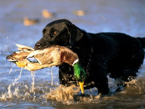 offseason hunting dog tips    hunt fowl blog