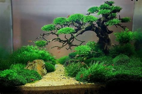 underwater bonsai  trung kala awesome aquascapes