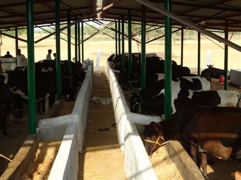 Dairy Cow Shed Design - banking to dairy farming part 2 vigyan