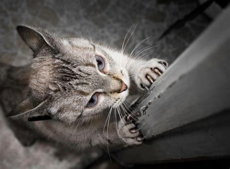 comment emp 234 cher mon chat de faire ses griffes partout yummypets
