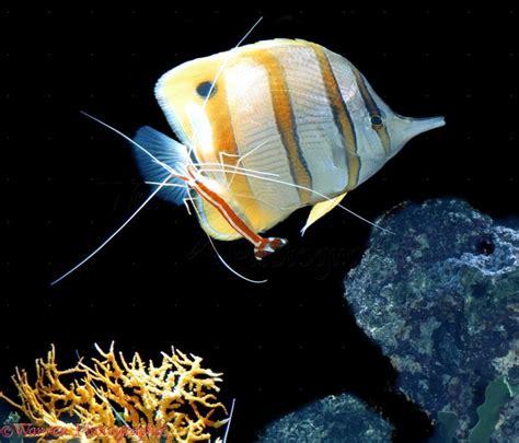 cleaner shrimp ocean treasures memorial library