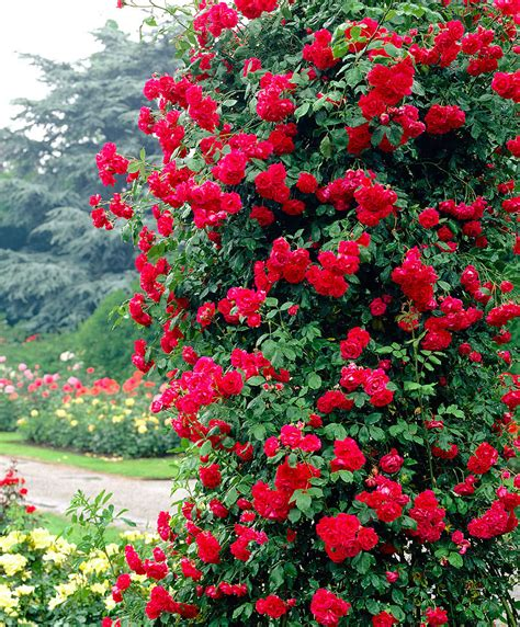 kletterrose paul scarlet kletterrose f 252 r rosenbogen preisvergleich die besten angebote kaufen
