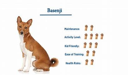 Basenji Dog Know Dogs Breed Need Breeds
