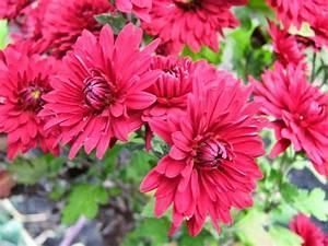 55 Amazing Chrysanthemum Flower Collection - Golfian com