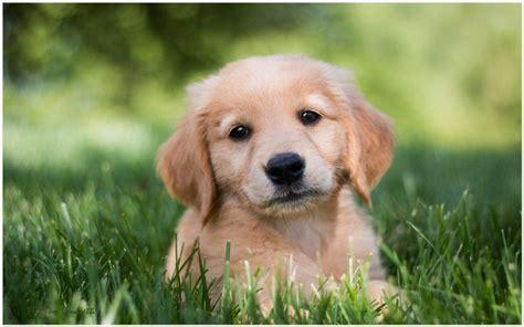 Golden Retriever Wallpaper Aesthetic Lock Screen Puppies by Golden Retriever Puppy Wallpaper Golden Retriever Puppy
