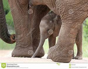 African Elephant Baby And Mom Royalty Free Stock ...