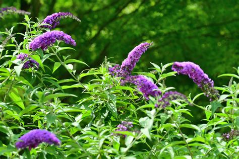 deer resistant shrubs  landscaping