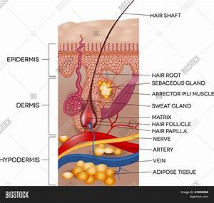 Labeled Skin Hair Vector  U0026 Photo  Free Trial