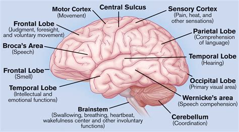 Label Brain Diagram by Brain Labeled Brain Puzzles Image