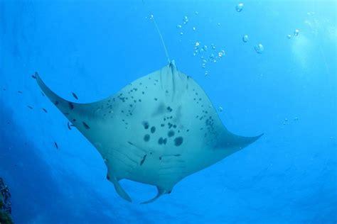 amazing facts  manta rays  bet   knew