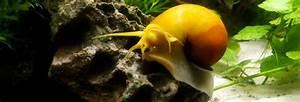 Apple Snail Guide