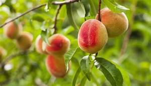 What Is Shuck Split In Fruit Trees