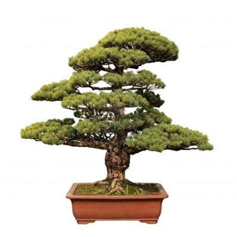 bonsai da interno bonsai da interno bonsai